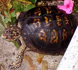 Spaz the box turtle